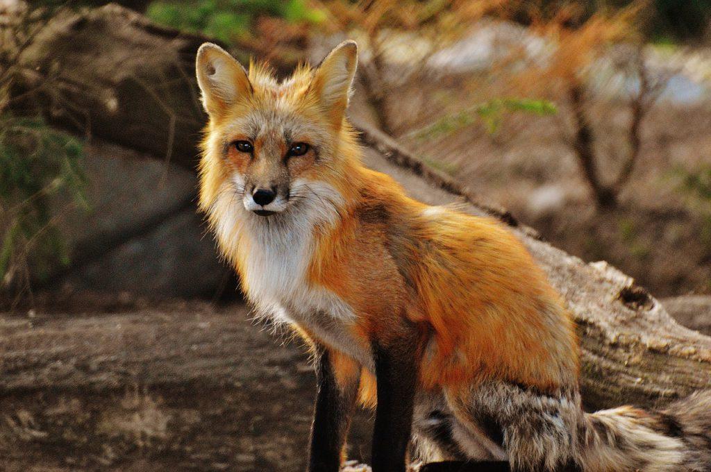 pixabay-fox