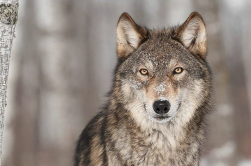 stock-photo-wolf
